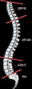 正しい背骨の型